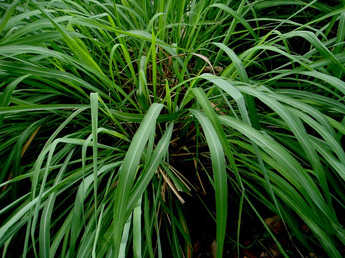 Ahmad-Fuad-Morad-citronella-grass